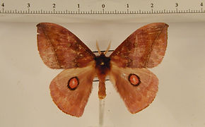 Gamelia abasia mâle