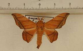 Biterolfa althea mâle