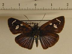 Pythonides jovianus jovianus mâle