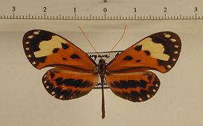 Hypothyris ninonia latefasciata mâle