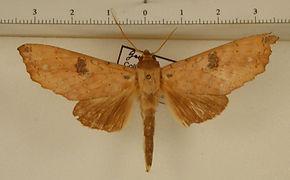 Hapigia smerinthoides mâle