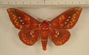 Procitheronia vanschaycki mâle