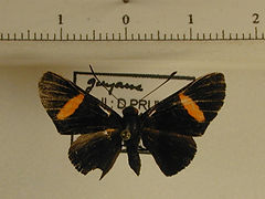 Panara phereclus mâle