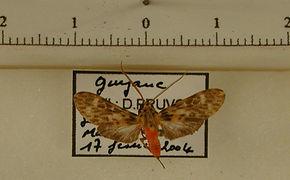 Eucereon punctatum mâle