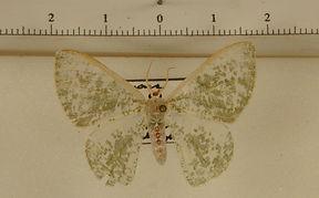 Oospila sporodata mâle