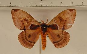 Molippa placida mâle