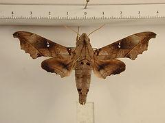 Madoryx oiclus oiclus mâle