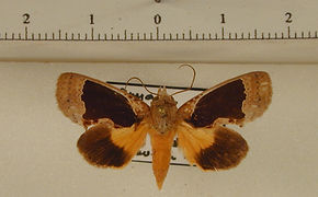 Gonodonta indentata mâle