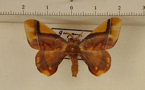 Epia muscosa mâle