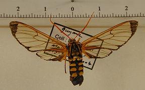 Isanthrene melas mâle