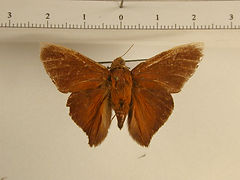 Porphyrogenes zohra mâle