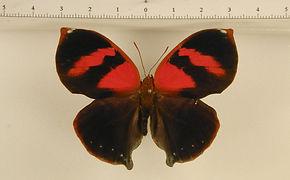 Siderone galanthis mâle