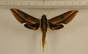 Xylophanes amadis mâle
