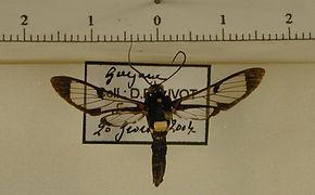 Pheia toulgoeti mâle
