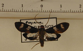 Delphyre dizona mâle