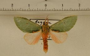 Rosema myops mâle