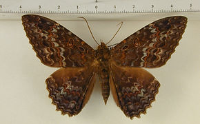 Letis iphianasse mâle