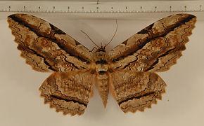 Thysania zenobia mâle