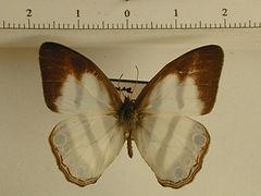 Pareuptychia hesionides deviae mâle