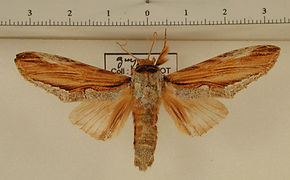 Rhudaria flava mâle