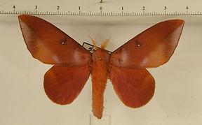 Othorene purpurascens mâle