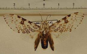 Hypercompe cunigunda mâle