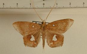 Macrodes cynara mâle