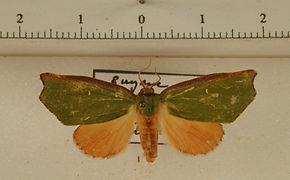 Rosema demorsa mâle