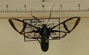 Nyridela acroxantha mâle