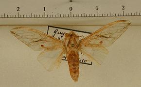 Trichomaplata cassiope mâle