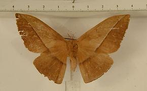 Lonomia belizonensis mâle