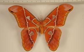 Rothschildia hesperus hesperus mâle