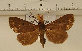 Rejectaria cocytalis mâle