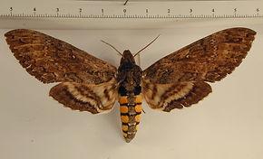 Manduca sexta paphus mâle
