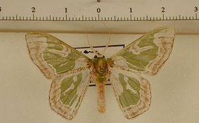 Oospila obeliscata mâle