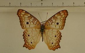 Anartia jatrophae jatrophae mâle