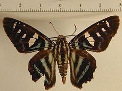 Croniades pieria pieria mâle