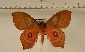 Automerina caudatula mâle