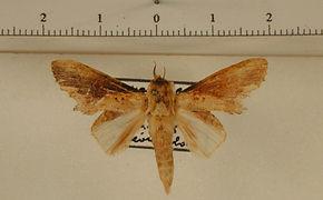 Disphragis poulsoni mâle