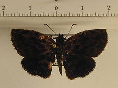 Achlyodes busirus busirus mâle
