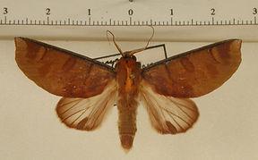 Hemiceras truncata mâle