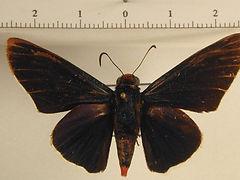 Pyrrhopyge phidias bixae mâle
