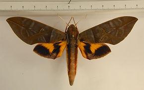 Eumorpha phorbas mâle