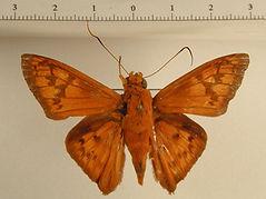 Bungalotis borax mâle
