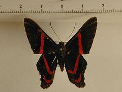 Ancyluris meliboeus meliboeus mâle