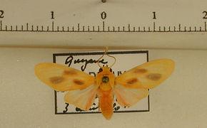 Regobarrosia villiersi mâle