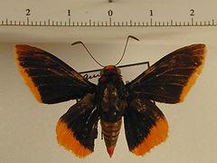 Pyrrhopyge amyclas amyclas mâle