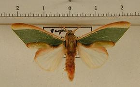 Rosema apollinairei mâle