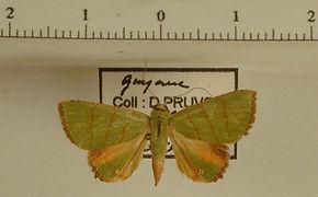 Eulepidotis viridissima mâle