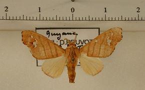 Zatrephes trilineata mâle